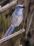 Florida Scrub Jay  Aphelocoma Coerulescens  a Threatened Species Southern Florida  USA