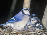 Blue Jay on its Nest with Young  Cyanocitta Cristata  North America
