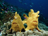 Giant Frogfishes on a Coral Reef (Antennarius Commersonii)  Pacific Ocean  Panglao Island