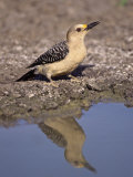 Female Golden-Fronted Woodpecker  Melanerpes Aurifrons  Drinking  Texas