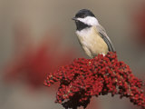 Carolina Chickadee (Poecile Carolinensis) on Sumac  Eastern North America