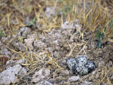 Killdeer Nest with Four Camouflaged Eggs (Charadrius Vociferus)  North America