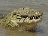 Nile Crocodile  Crocodylus Niloticus  Eating a Grant Gazelle  Masai Mara  Kenya  East Africa