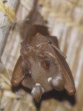 Dobson's Fruit Bat Hanging Upside Down  Epomops Dobsoni  Kenya  Africa