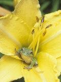 Squirrel Treefrog (Hyla Squirella) in a Day Lily Flower (Hemerocallis) USA