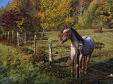 Horse in a Fenced Pasture with Fall Colors in the Background  North Carolina  USA