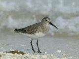 Dunlin in Winter Plumage  Calidris Alpina  North America