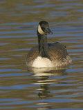 Canada Goose Swimming  Branta Canadensis  North America