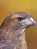 Red-Tailed Hawk  Buteo Jamaicensis  Head Showing its Eye and Bill  North America