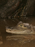 Spectacled Caiman Head  Caiman Crocodilus
