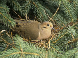 Mourning Dove  Zenaida Macroura  on its Nest in a Blue Spruce Tree  Picea Pungens  North America