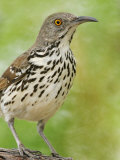 Long-Billed Thrasher  Toxostoma Longirostre  Texas  USA