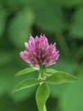 Red Clover Flower (Trifolium Pratense)  North America