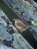 Carolina Wren (Thryothorus Ludovicianus) Eastern USA