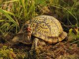 Eastern Box Turtle (Terrapene Carolina Carolina)  Michigan  USA