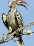 Red-Billed Hornbill  Tockus Erythrorhynchus  Chobe National Park  Botswana  Africa