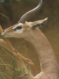 Close-Up of a Male Gerenuk Standing on its Hind Legs Feeding  Litocranius Walleri  East Africa