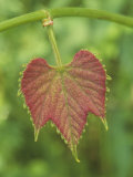 Young Wild Grape Leaf  Vitis
