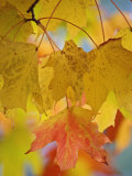 Maple Leaves in the Fall (Acer)