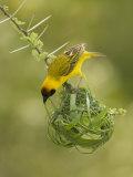 Vitelline Masked Weaver  Ploceus Vitellinus  Kenya  Africa