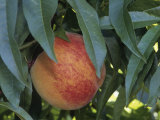Red Haven Peach  Prunus Persica  Growing on Tree