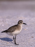 Black-Bellied Plover in Winter Plumage (Pluvialis Squatarola)  Florida  USA