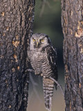 Northern Hawk Owl (Surnia Ulula)  USA