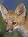 Face of Red Fox  Vulpes Vulpes  North America