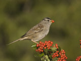 White-Crowned Sparrow (Zonotrichia Leucophrys) Eating a Pyracantha Berry  North America