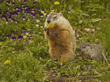 Woodchuck  Marmota Monax  or Groundhog Eating a Dandelion  Eastern North America