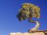 Utah Juniper (Juniperus Osteosperma)  Southwestern North America