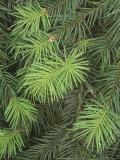 New Spring Growth on Needles of the Douglas Fir  Pseudotsuga Menziesii  Western USA