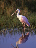 Roseate Spoonbill with its Reflection in the Marsh Pond  Ajaia Ajaja  Florida  USA