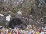Beaver Next to Recently Felled Trees, Castor Canadensis, North America Papier Photo par Bill Banaszewski
