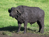 African Buffalo Taking a Mud Bath Near a Savanna Waterhole  Syncerus Caffer  Tanzania  Africa