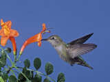 Female Anna's Hummingbird  Calypte Anna  Feeding at a Flower  California  USA