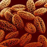 Lily  Lilium  Pollen