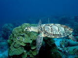 Hawksbill Sea Turtle Swimming over a Coral Reef (Eretmochelys Imbricata)  Caribbean Sea