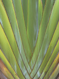 Leaves of the Traveler's Tree  Ravenala Madagascariensis  Strelitziaceae  Madagascar  Africa