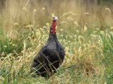 Male Wild Turkey (Meleagris Gallopavo)  USA