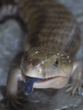 Northern Blue-Tongued Skink  Tiliqua Scincoides Intermedia  Australia