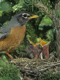 American Robin at its Nest with Two Baby Birds  Turdus Migratorius   North America