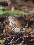 Brown Thrasher  Toxostoma Rufum   Texas  USA
