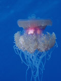 Crown Jellyfish (Netrostoma Setouchina)  Red Sea  Egypt