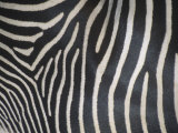 Close-Up of Grevy&#39;s Zebra Stripes  Equus Grevyi  Africa