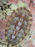 Red Chiton  Ischnochiton Ruber  also known as Tonicella Rubra  Maine  Usa  Atlantic Ocean