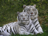 White Bengal Tigers  Panthera Tigris  Asia