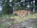 Cougar  Puma  or Mountain Lion Running  Felis Concolor  North America