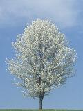Bradford Pear in Full Bloom Against a Blue Sky
