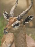 Buck Gerenuk Head  Litocranius Walleri  Samburu  Kenya  Africa